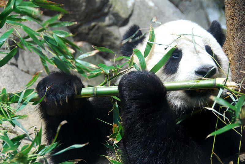 Udało się uratować pandy wielkie przed wyginięciem. Fot. Fernando Revilla