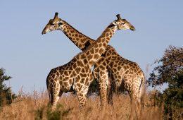 Żyrafy – nie spodziewaliśmy się takiego zaskoczenia z ich strony