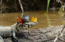 Kajman w koronie z motyli – jak powstało to dziwne zdjęcie