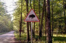 Puszcza Białowieska – Crazy Wyprawa do wolnych żubrów, rezerwatu ścisłego i Starej Białowieży