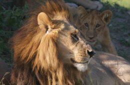 5 lwic niespodziewanie wyhodowało sobie grzywy i zaczęło zachowywać się jak lwy