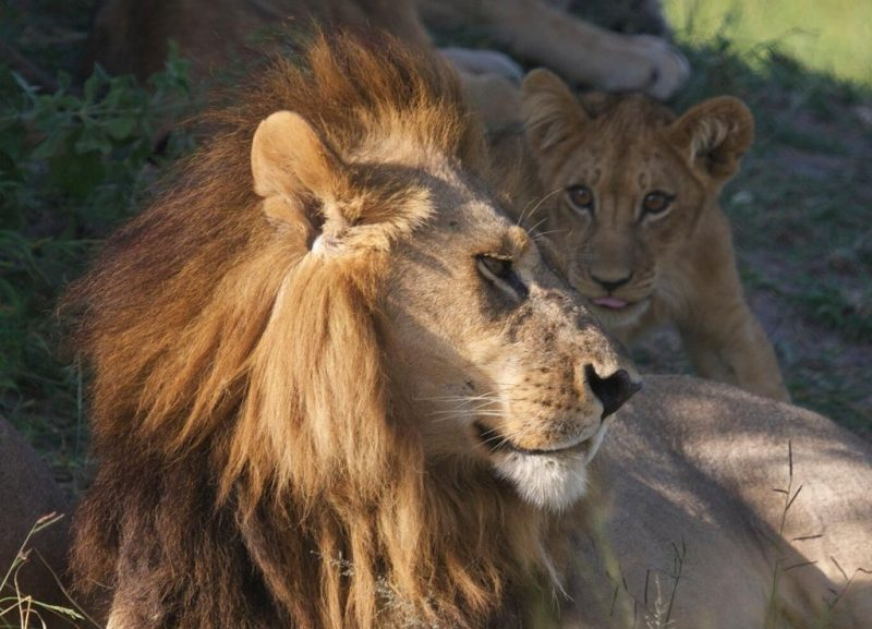 Lwica z Botswany z grzywą. Fot. Fabian Gieske