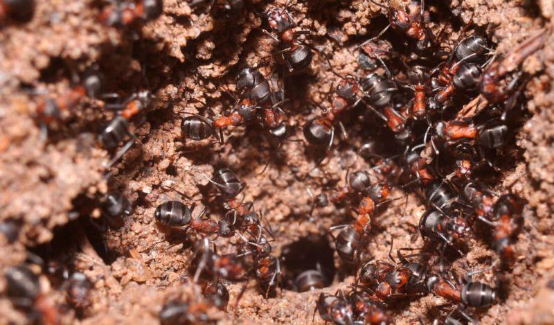 Podziemna kolonia mrówek ćmawych w Templeiwe. Fot. Wojciech Stephan; CC-BY 4.0