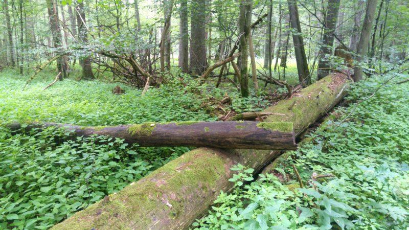 W rezerwacie ścisłym nikt nie uprząta martwych drzew. Stają się domem dla wielu puszczańskich gatunków. Fot. Crazy Nauka