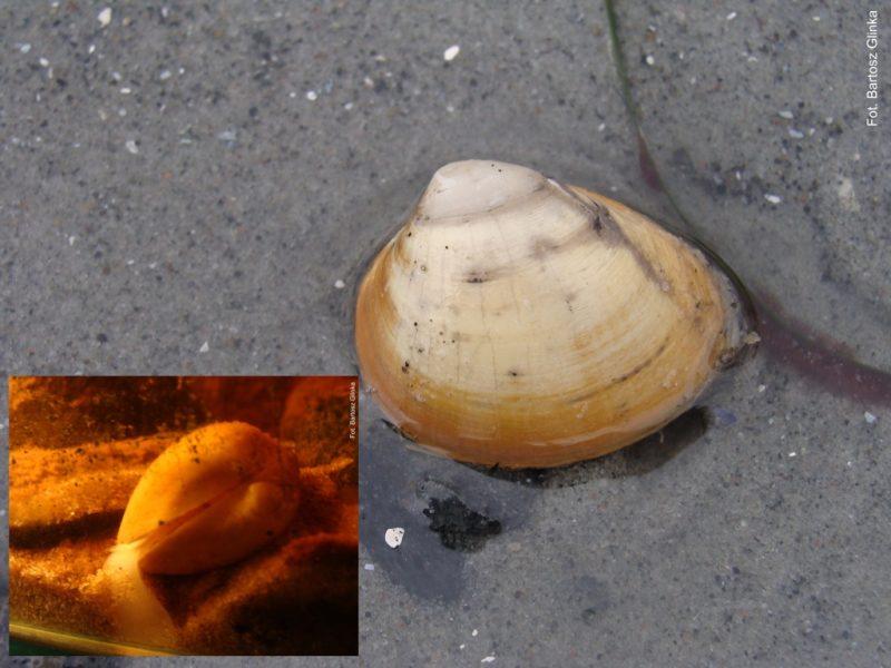 Okaz Rangia cuneata sfotografowany na plaży w Orłowie i w akwarium. Fot. Bartosz Glinka/UG
