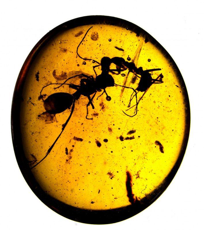 Zatopione w bursztynie walczące mrówki liczą 99 mln lat. Znalezisko pochodzi z Birmy, a przechowywane jest w American Museum of Natural History w Nowym Jorku. Źródło: AMNH/D. Grimaldi oraz P. Barden