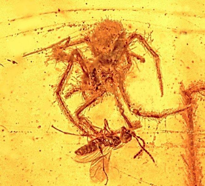 Pająk chwyta ofiarę - scena sprzed 100 mln lat. Fot. Oregon State University