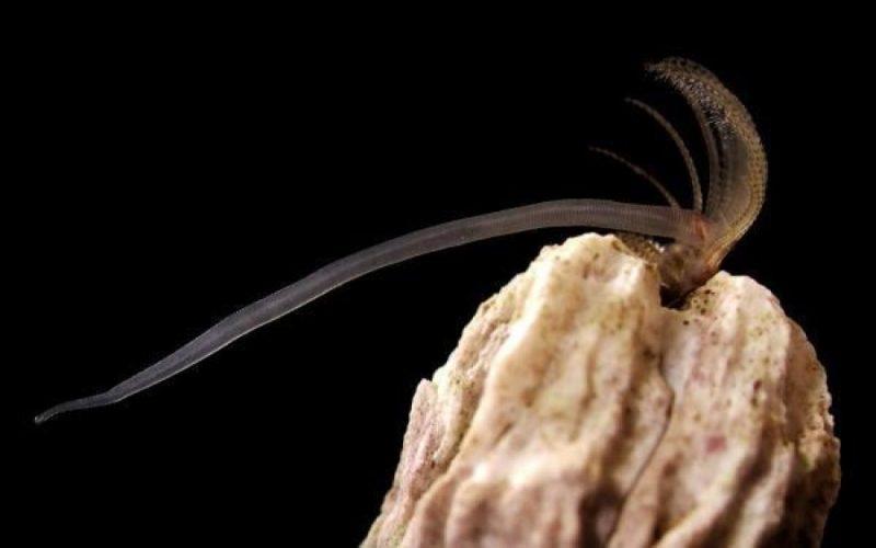 Penisy pąkli są ośmiokrotnie dłuższe od ich ciał. Fot. University of Alberta