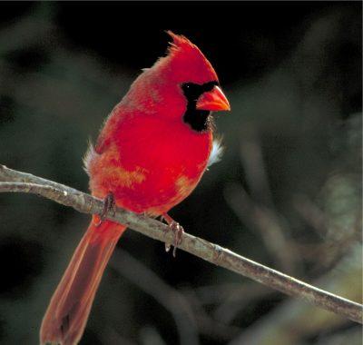 Samiec kardynała szkarłatnego. For. skeeze/Pixabay