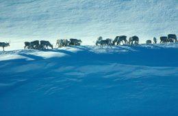 Deszcze spowodowały głodową śmierć 60 tys. reniferów na Syberii