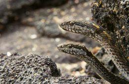 Iguana i węże – zobaczcie najbardziej wstrząsający pościg roku