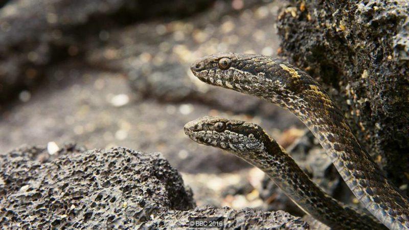Węże Philodryas biserialis polują na iguanę. Fot. BBC