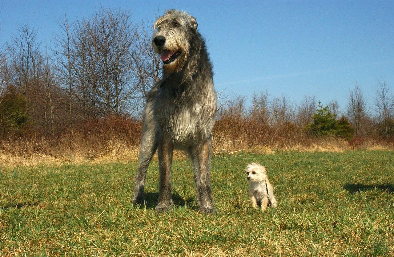 Wilczarz irlandzki i chihuahua - ten sam gatunek