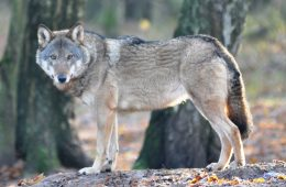 Jak wilk skradł fotopułapkę w Puszczy Drawskiej