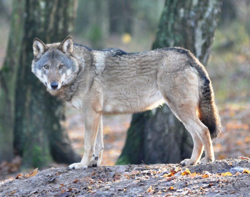Wilk w Puszczy Drawskiej. Fot. Robert Mysłajek