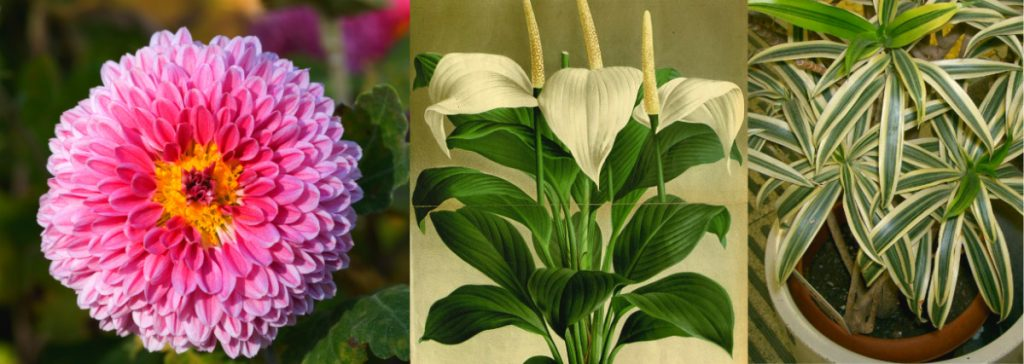 Chryzantema, dracena i skrzydłokwiat najskuteczniej oczyszczają powietrze. For. Wikimedia Commons