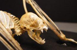 W Brazylii nietoperze-wampiry po raz pierwszy zaatakowały ludzi