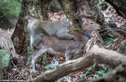 Przyłapano małpę na próbie spółkowania z samicą jelenia