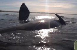"""Wieloryb """"podwiózł"""" kajakarzy – zobaczcie to na filmie"""