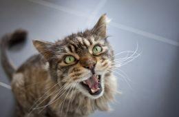 Kocie miauczenie jest przeznaczone tylko dla ludzi i wykorzystuje nasze słabości