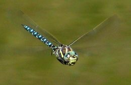Samice ważek udają martwe, by uniknąć zalotów natrętnych samców