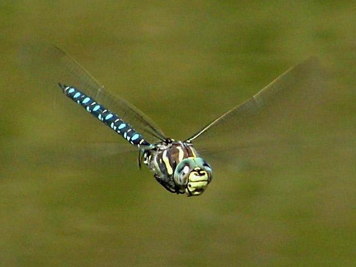 Żagnica torfowa Fot. Jensbn/Wikimedia