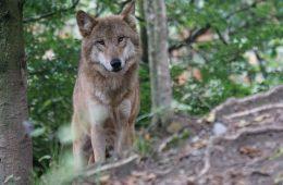 Pod samą Warszawą żyje rodzina wilków! Zobaczcie je na wideo