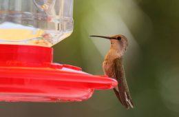 Dokarmiamy kolibry i obserwujemy ich niesamowite języki