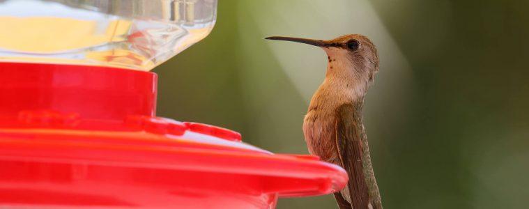 Zamyślony koliber na karmniku. fot. Łukasz Bołdys