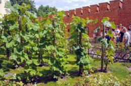 Odkryliśmy… winnicę na Wawelu