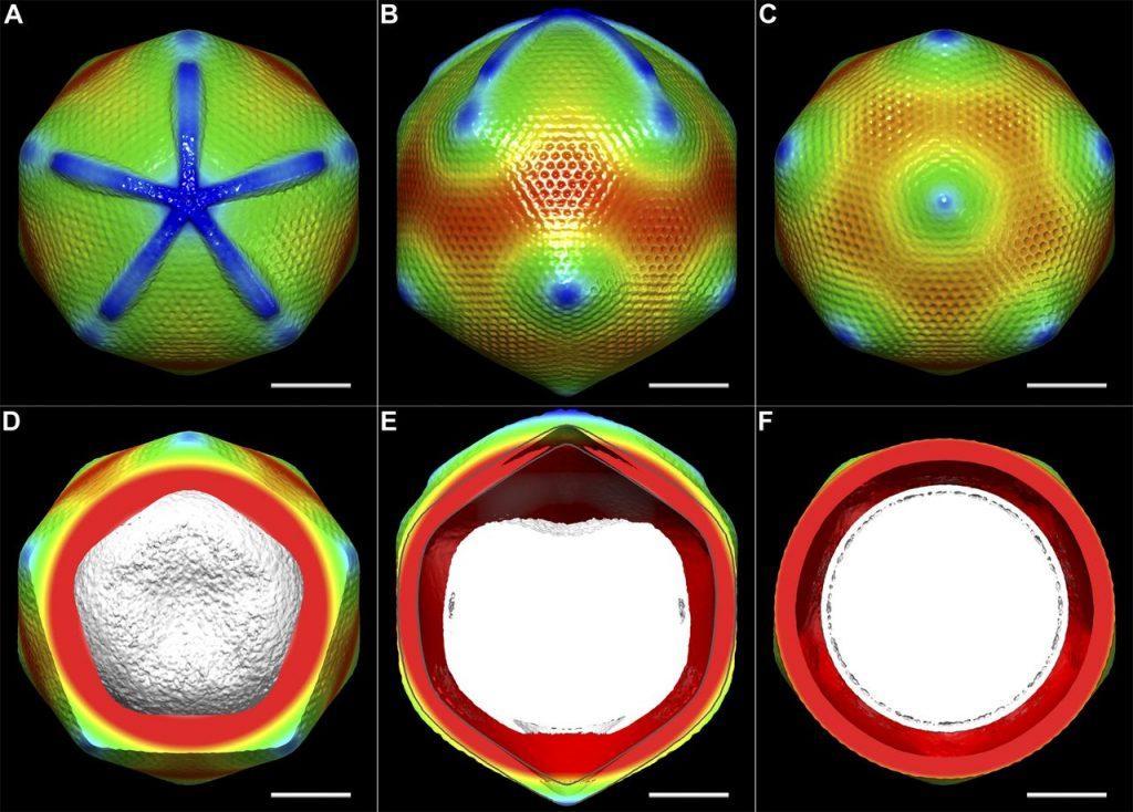 Obraz mimiwirusa stworzony dzięki mikroskopowi krio-elektronowemu. Fot. Xiao C, Kuznetsov YG, Sun S, Hafenstein SL, Kostyuchenko VA, et al. (2009) [CC BY 2.5]