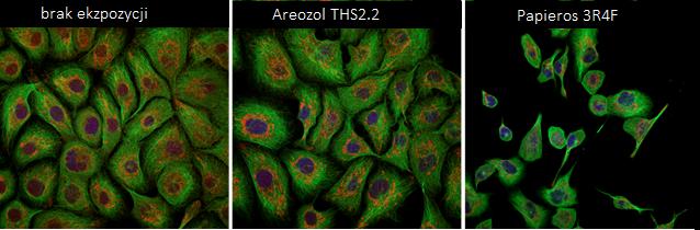 Morfologia komórek (kolorem zielonym oznaczono cytoszkielet komórki, czerwonym - mitochondria, niebieskim - jądro komórkowe), od lewej obraz pochodzący z mikroskopii konfokalnej: - po 7 dniach braku ekspozycji na dym tytoniowy i aerozol z THS2.2; - po 7 dniach stałej ekspozycji na aerozol THS2.2 (o stężeniu 7.5µg/ml); - po 7 dniach ekspozycji na dym tytoniowy papierosa referencyjnego (o stężeniu 7.5µg/ml).