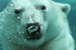 Niedźwiedzie polarne przechodzą na… wegetarianizm