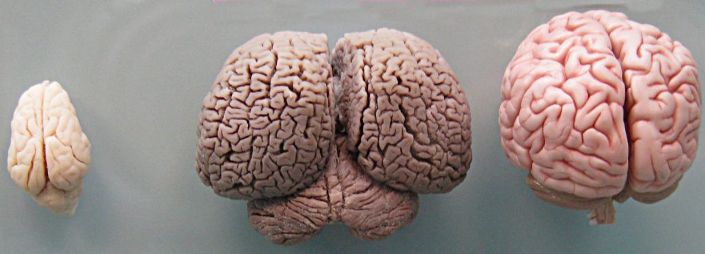 Rycina 2. Od lewej strony: mózg świni (Sus scrofa) delfina butlonosa (Tursiops truncatus) oraz człowieka (Homo sapiens sapiens) (autorzy: Boksi & Looie496; Wiki Commons)