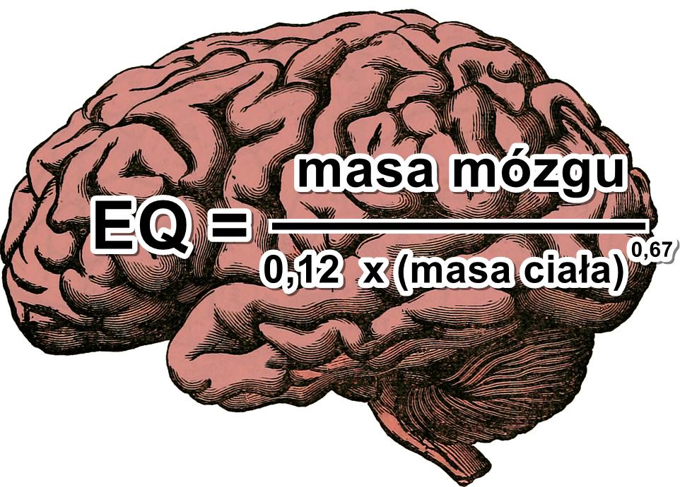 Ryc. 3. Pierwotny wzór do obliczania współczynnika encefalizacji