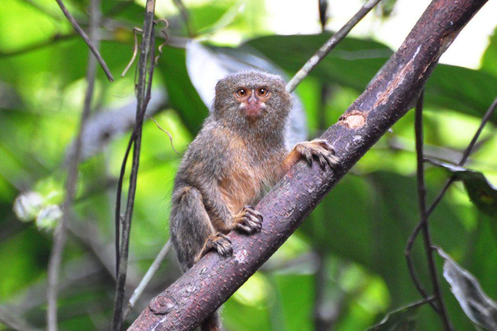 Ryc. 5 Pigmejka karłowata Cebuella pygmaea (autor: Don Faulkner; Wiki Commons)