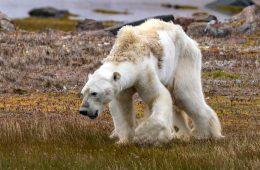 Głodujący niedźwiedź polarny – TAK wygląda ocieplenie klimatu w Arktyce