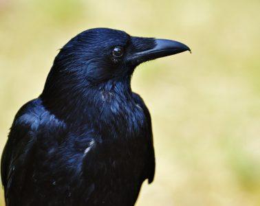 Wrona brodata - prawdopodobnie najinteligentniejszy ptak świata