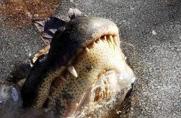 Pysk wystający spod lodu – tak aligatory walczą o przeżycie na mrozie