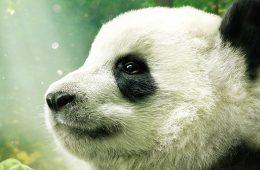 Pierwsze sensowne 3D w kinie od lat: Pandy w IMAX