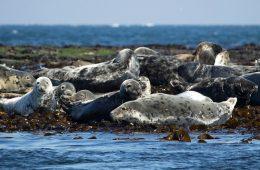 15 martwych fok jednego dnia, niektóre zabite przez ludzi – co się właściwie dzieje na polskim wybrzeżu?