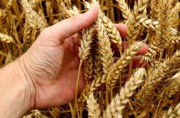 Coraz więcej glutenu w zbożach? Obalamy ten mit