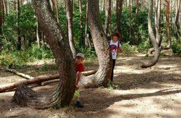 Jak powstał Krzywy Las koło Gryfina?