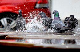Gołębie, czyli latające szczury - czy zasługują na to miano?