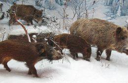 Masowy odstrzał dzików nie zahamuje epidemii afrykańskiego pomoru świń w Polsce
