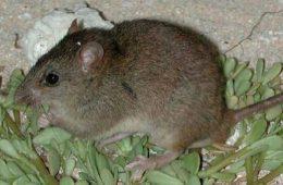 Pierwszy ssak wyginął z powodu zmian klimatu – to już oficjalne