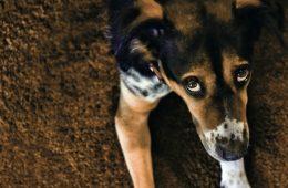 Psy wykształciły specjalne mięśnie wokół oczu, by budzić w nas czułość