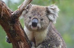 Australia Animal Marsupial Koala Tree Nature