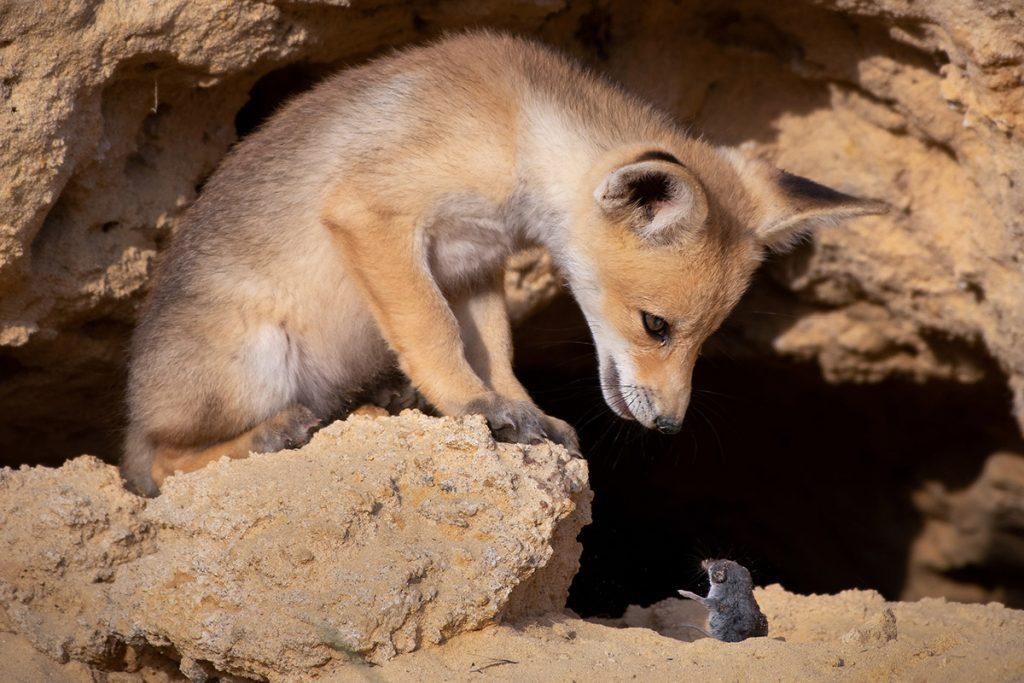 Młody lis i ryjówka. Fot. © Ayala Fishaimer / Comedy Wildlife Photo Awards 2020