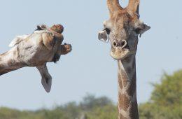 Żyrafy - photobombing. Fot. © Brigitte Alcalay-Marcon / Comedy Wildlife Photo Awards 2020